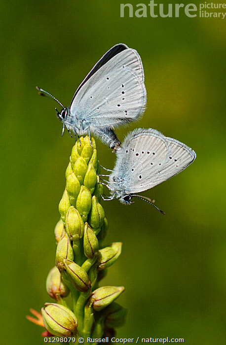 Mating pair of Small Blue Butterflies (Cupido minimus) on Man orchid (Aceras anthropophorum) flower spike, Surrey, England, UK  ,  ACERAS ANTHROPOPHORUM,ARTHROPODS,BEHAVIOUR,BUTTERFLIES,COPULATION,INSECTS,INVERTEBRATES,LEPIDOPTERA,LITTLE BLUE,MALE FEMALE PAIR,UK,VERTICAL,Reproduction,Europe,United Kingdom  ,  Russell Cooper