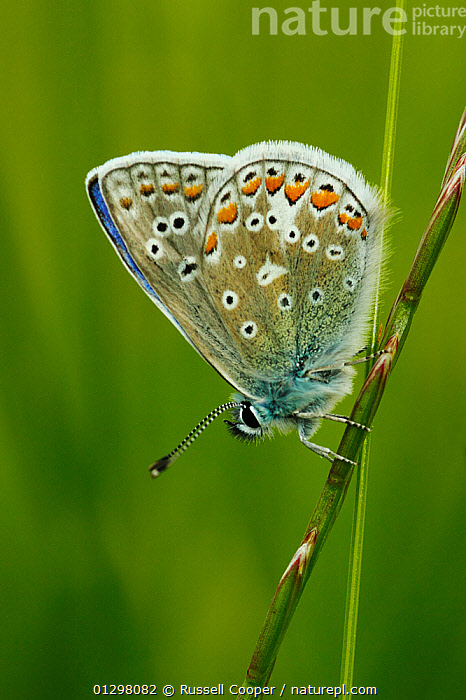 Common Blue Butterfly (Polyommatus icarus)  male at rest on grass stems, Morden, South London, England, UK  ,  ARTHROPODS,BUTTERFLIES,ENGLAND,INSECTS,INVERTEBRATES,LEPIDOPTERA,MALES,UK,VERTICAL,Europe,United Kingdom  ,  Russell Cooper