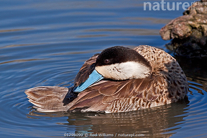 Puna Teal (Anas versicolor puna) preening on water, captive  ,  BEHAVIOUR,BIRDS,DUCKS,FEATHERS,GROOMING,PREENING,VERTEBRATES,WATER,WATERFOWL  ,  Rod Williams