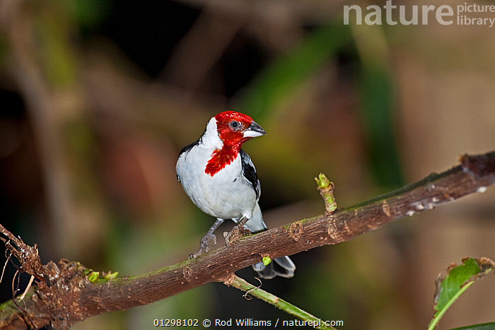 Pope Cardinal (Paroaria dominicana) perched on branch, from north east Brazil, Captive.  ,  BIRDS,CARDINALS,COLOURFUL,RED,SOUTH AMERICA,VERTEBRATES  ,  Rod Williams