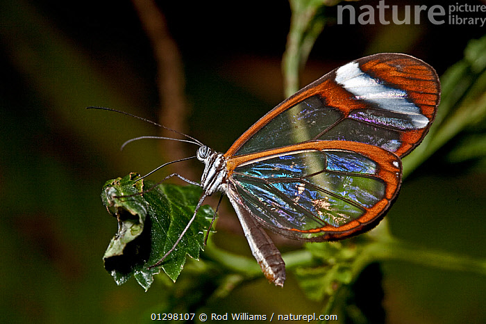 Glasswing butterfly (Greta oto) captive, from Central and South America  ,  BUTTERFLIES, CENTRAL-AMERICA, INSECTS, INVERTEBRATES, ITHOMIINAE, LEPIDOPTERA, PROFILE, SOUTH-AMERICA, TRANSPARENT  ,  Rod Williams