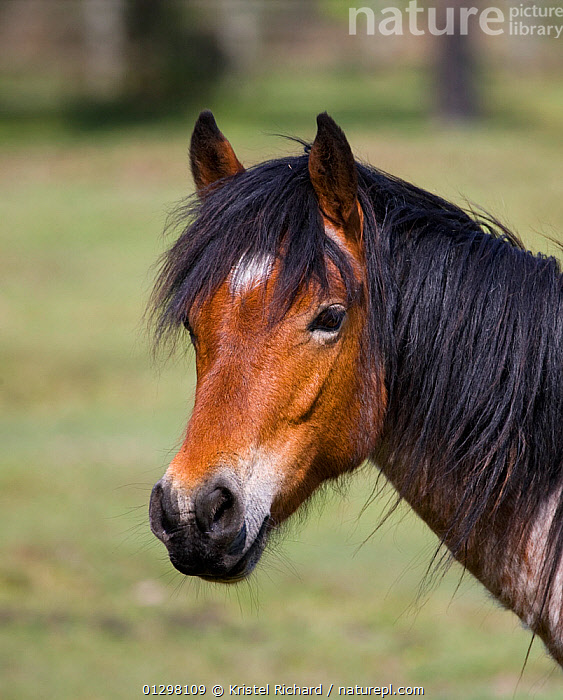 Head portrait of a New Forest filly (Equus caballus) New Forest NP, Hampshire, England.  ,  COUNTRYSIDE,ENGLAND,EUROPE,FEMALES,FILLY,FOAL,GROUPS,HORSES,MAMMALS,NP,PERISSODACTYLA,PONIES,PONY,PORTRAITS,VERTEBRATES,National Park,Equines  ,  Kristel Richard