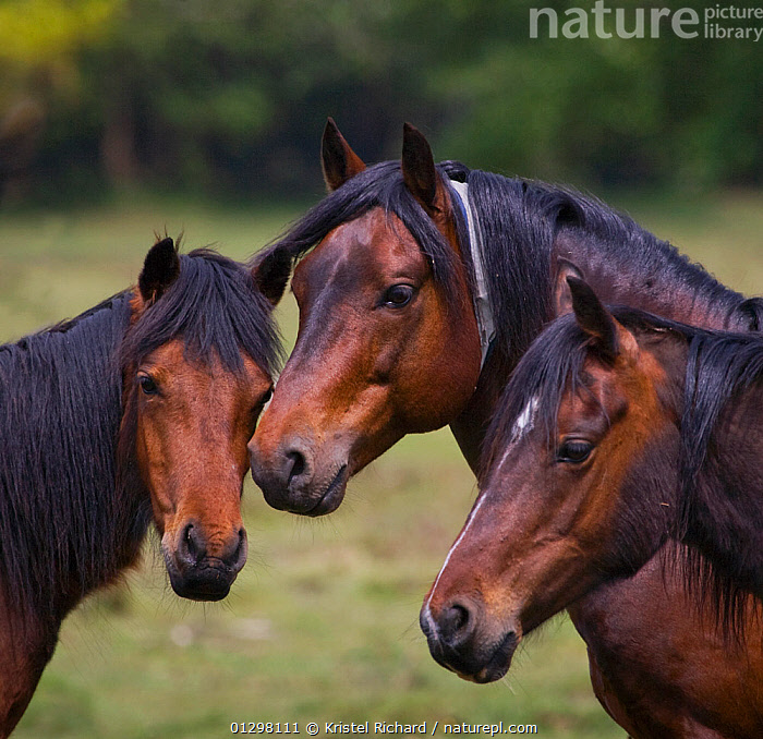 Group portrait of a New Forest stallion (centre) with two of his New Forest mares (Equus caballus) New Forest NP, Hampshire, England.  ,  ENGLAND,EUROPE,FEMALES,GROUPS,HORSES,MALES,MAMMALS,NP,PERISSODACTYLA,PONIES,PORTRAITS,VERTEBRATES,National Park,Equines  ,  Kristel Richard