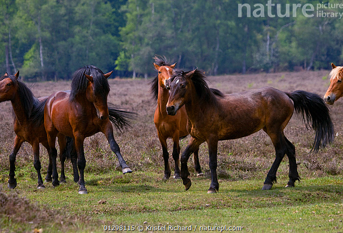 A New Forest pony stallion (Equus caballus) fights with one of his New Forest mares, New Forest NP, Hampshire, England.  ,  AGGRESSION,BEHAVIOUR,COUNTRYSIDE,ENGLAND,EUROPE,FEMALES,FIGHTING,GROUPS,HORSES,MALES,MAMMALS,NP,PERISSODACTYLA,PONIES,VERTEBRATES,Concepts,National Park,Equines  ,  Kristel Richard