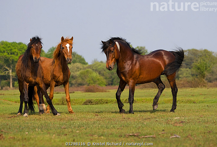 A New Forest pony stallion (Equus caballus) right, herding his New Forest mares, New Forest NP, Hampshire, England.  ,  BEHAVIOUR,COUNTRYSIDE,ENGLAND,EUROPE,FEMALES,GROUPS,HORSES,MALES,MAMMALS,NP,PERISSODACTYLA,PONIES,TERRITORIAL,VERTEBRATES,National Park,Equines  ,  Kristel Richard