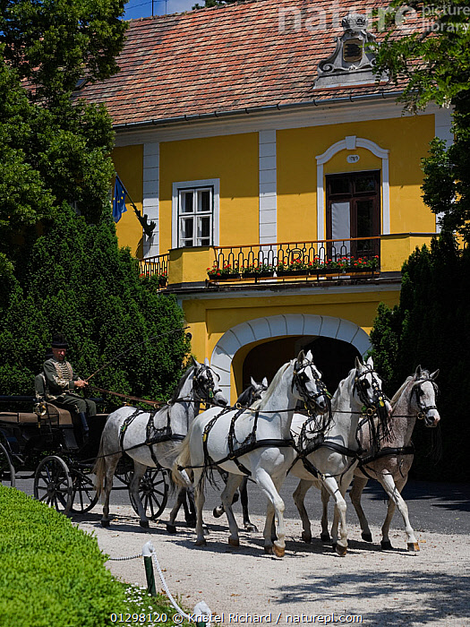 Five grey Shagya Arab Mares (Equus caballus) pulling a carriage in front of the historical building of the Babolna Arabian Stud (founded in 1789), Babolna, Komarom-Esztergom, Hungary. May 2010  ,  BUILDINGS,EUROPE,FEMALES,HORSES,HUNGARY,MAMMALS,MAN,OUTDOORS,PEOPLE,PERISSODACTYLA,TOWNS,TRADITIONAL,VEHICLES,VERTEBRATES,Equines  ,  Kristel Richard
