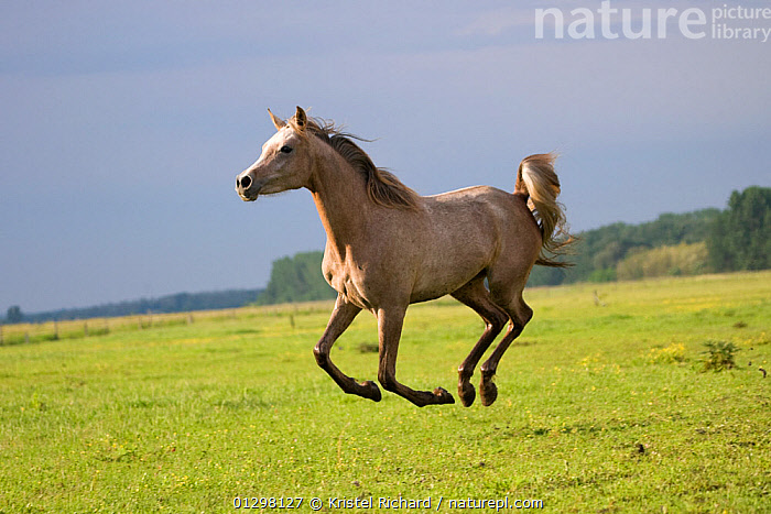 A Shagya Arab filly (Equus caballus) galloping in a field at the Babolna Arabian Stud, Babolna, Komarom-Esztergom, Hungary.  ,  ACTION,COUNTRYSIDE,EUROPE,FEMALES,FIELDS,HORSES,HUNGARY,JUMPING,MAMMALS,PERISSODACTYLA,RUNNING,VERTEBRATES,Equines  ,  Kristel Richard