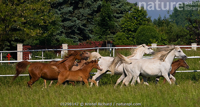 A herd of Purebred Arab and Shagya Arab mares (Equus caballus) and foals galloping in field at the Babolna Arabian Stud, Babolna, Komarom-Esztergom, Hungary.  ,  BABIES,EUROPE,FEMALES,FIELDS,GROUPS,HORSES,HUNGARY,JUVENILE,MAMMALS,PERISSODACTYLA,RUNNING,VERTEBRATES,Equines  ,  Kristel Richard