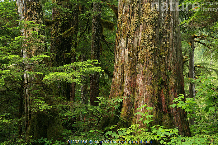 Trunk of a Western red cedar tree (Thuja plicata) and Western hemlock trees (Tsuga heterophylla) in temperate rainforest, Upper Incomappleux Valley, British Columbia, Canada.  The upper Incomappleux valley contains the largest surviving remnant of inland temperate rainforest in British Columbia, but is threatened by logging. July 2007  ,  ANCIENT,CANADA,CONIFEROUS,CONIFERS,CUPRESSACEAE,GYMNOSPERMS,LANDSCAPES,MIXED SPECIES,PLANTS,RESERVE,TEMPERATE RAINFOREST,TREES,TRUNKS,North America  ,  Alan Watson