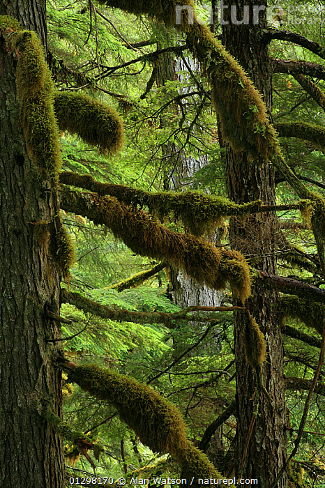 Moss-covered branches of Western hemlock tree (Tsuga heterophylla) in temperate rainforest, Upper Incomappleux Valley, British Columbia, Canada.  ,  CANADA,MOSS,RESERVE,TEMPERATE RAINFOREST,TREES,VERTICAL,North America,PLANTS  ,  Alan Watson