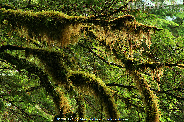 Moss-covered branches of Western hemlock tree (Tsuga heterophylla) in temperate rainforest, Upper Incomappleux Valley, British Columbia, Canada.  ,  CANADA,CONIFEROUS,MONOCOTYLEDONS,MOSS,PINACEAE,PLANTS,RESERVE,TEMPERATE RAINFOREST,North America  ,  Alan Watson