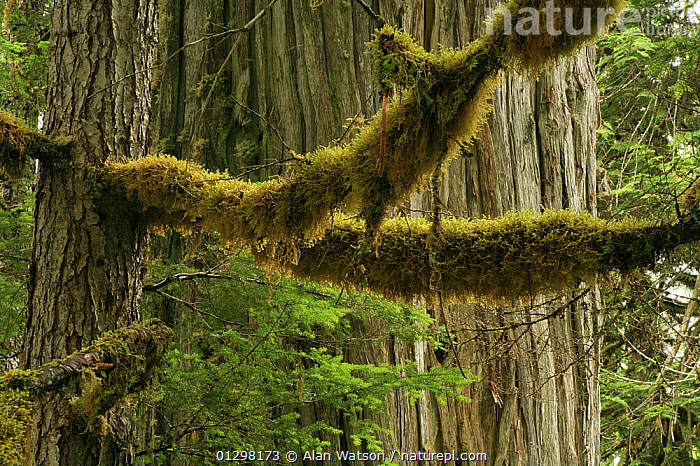 Moss on the branches of Western hemlock tree (Tsuga heterophylla) with the trunk of Western red cedar tree (Thuja plicata) behind, in temperate rainforest, Upper Incomappleux Valley, British Columbia, Canada.  .  ,  CANADA,CONIFEROUS,MIXED SPECIES,MONOCOTYLEDONS,MOSS,PINACEAE,PLANTS,RESERVE,TEMPERATE RAINFOREST,TREES,TRUNKS,North America  ,  Alan Watson