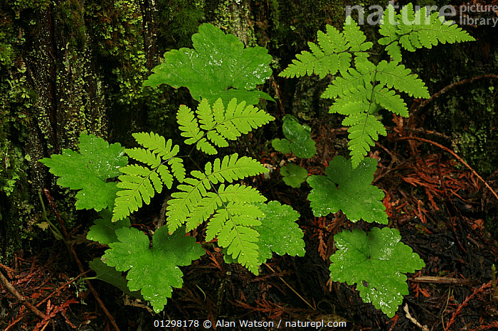 Oak fern (Gymnocarpium dryopteris), in temperate rainforest, Upper Incomappleux Valley, British Columbia, Canada.  ,  CANADA, CYSTOPTERIDACEAE, FERNS, GREEN, LEAVES, PLANTS, RESERVE, TEMPERATE-RAINFOREST,North America  ,  Alan Watson