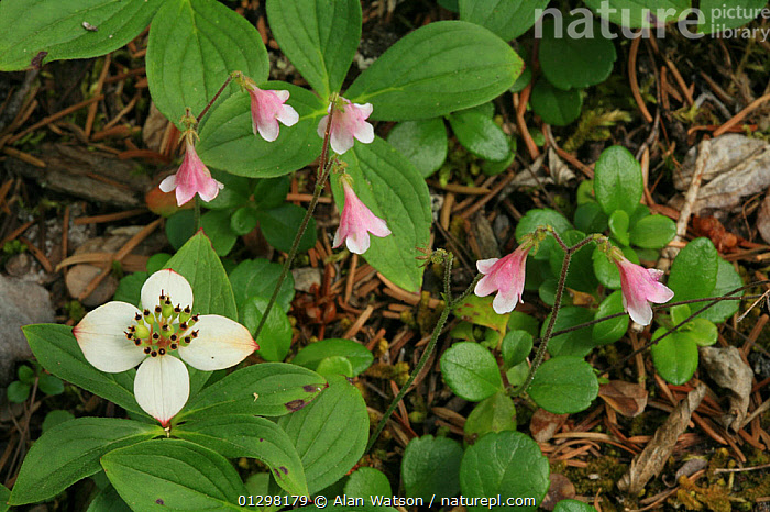Bunchberry (Cornus canadensis) and Twinflower (Linnaea borealis) in bloom, Kootenay National Park, British Columbia, Canada.  ,  CANADA,DICOTYLEDONS,FLOWERS,MIXED SPECIES,NP,NYSSACEAE,PLANTS,RESERVE,North America,National Park,,Canadian Rocky Mountain Parks World Heritage Site, UNESCO World Heritage Site,Rocky Mountains,Rockies,  ,  Alan Watson