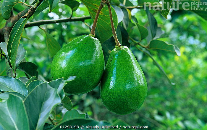 Avocado fruits on the tree (Persea americana).  ,  AGRICULTURE,AMERICANA,AVOCADO,AVOCADOS,BLAKE,BOTANY,CLOSE UP,COLOR,CROP,CROPS,DRINK,EATING,FARMING,FOOD,FOODS,FRESHNESS,FRUIT,FRUITS,GROWTH,HANGING,HARVEST,HEALTHY,HORIZONTAL,IMAGE,NATURAL,NORRIS,ORCHARD,ORCHARDS,OUTDOORS,PERSEA,RAW,TREE,TWO,WHOLE,Plants,Concepts  ,  Visuals Unlimited