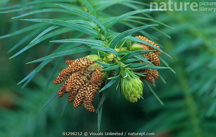 Pollen cones and ovulate cone of a China Fir (Cunninghamia lanceolata)  ,  ,botany, CHINA, china-fir, close-up, Color, cone, CONES, conifer, CONIFERS, cunninghamia, David, evergreen, Evergreens, female, fir, firs, frame, HORIZONTAL, Image, lanceolata, leaf, LEAVES, male, natural, nature, needle, needles, one, outdoors, plant, POLLEN, seed, Sieren, staminate  ,  Visuals Unlimited