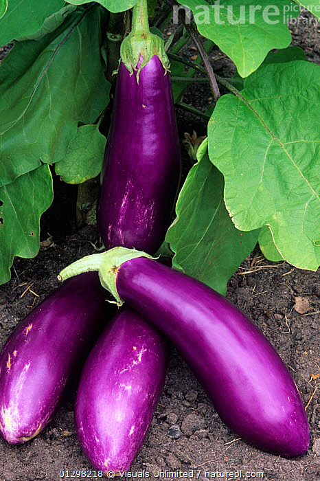 Eggplant 'Neon'  ,  73072919,AGRICULTURE,DRINK,EATING,EDIBLE,EGGPLANT,EGGPLANTS,FOOD,GROWING,HEALTHY,LEAVES,'NEON',OBJECTS,PURPLE,RIPE,VEGETABLE,VEGETABLES,VERTICAL  ,  Visuals Unlimited