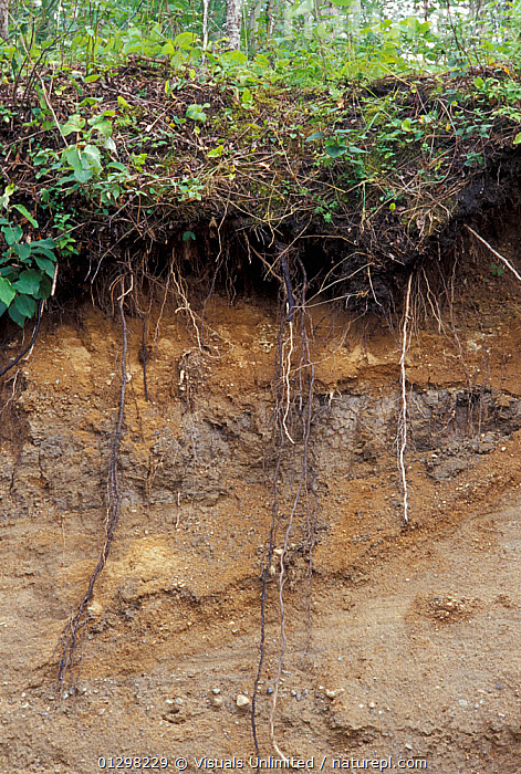 A profile of soil showing topsoil, sand, clay pocket, and sandy gravel.  ,  CLAY,COLOR,DIRT,GEOLOGY,GRAVEL,HORIZONS,HUMUS,IMAGE,OUTDOORS,PLANT,PROFILE,ROOT,SAND,SOIL,SUBSOIL,TOPSOIL,VERTICAL  ,  Visuals Unlimited