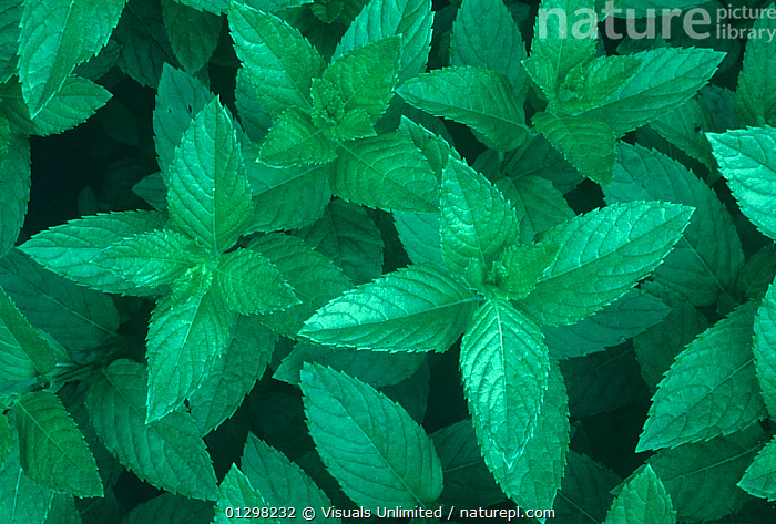 Peppermint leaves (Mentha piperita)  ,  AGRICULTURE,BACKGROUNDS,CLOSE,COLOR,DIRECTLY,FLAVORING,FOOD,FRAME,GARDENING,GREEN,HERB,HORIZONTAL,IMAGE,LEAF,MENTHA,OUTDOORS,PATTERN,PEPPERMINT,PIPERITA,SEASONING,SPICE  ,  Visuals Unlimited
