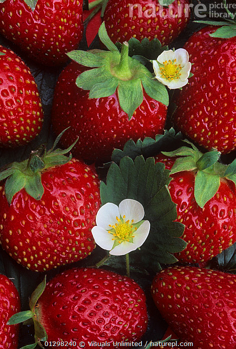 Strawberries, 'Sparkle' variety  ,  73072876,AGRICULTURE,BERRY,BLOSSOMS,DRINK,EATING,EBERHART,FLOWER,FOOD,FRUIT,GREEN,HEALTHY,LEAVES,OBJECTS,PLANT,RED,RIPE,SPARKLE,STAWBERRY,STEM,STRAWBERRIES,VERTICAL,WALLY,Plants  ,  Visuals Unlimited