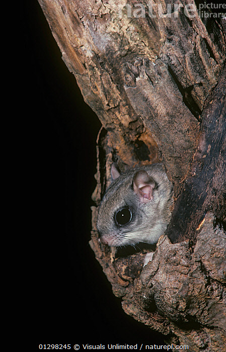 A Southern Flying Squirrel (Glaucomys volans) Pennsylvania, USA.  ,  ALERT,ANIMAL,AWARE,BLACK,BROWN,COLOR,DEN,FLYING,GLAUCOMYS,GRAY,HEAD,HOLE,IMAGE,NIGHT,ONE,OUTDOORS,PENNSYLVANIA,SOUTHERN,SQUIRREL,TREE,VERTICAL,VOLANS,  ,  Visuals Unlimited