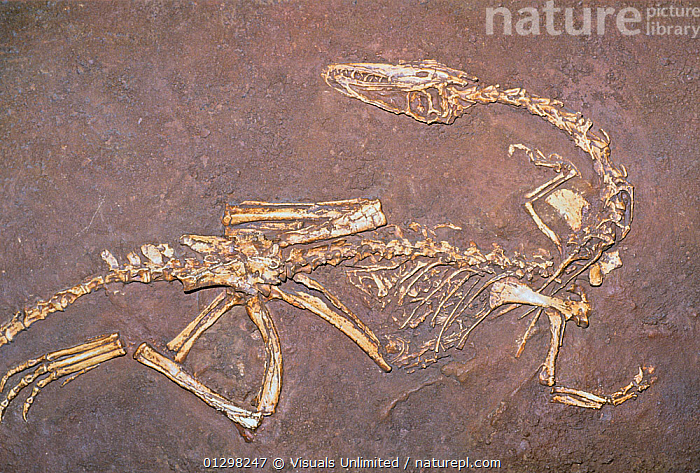 Dinosaur (Coelophysis bauri) - two hundred and thirty million years ago during the late triassic period. The state fossil of New Mexico.  ,  ANCIENT,BAURI,COELOPHYSIS,COLOR,DINOSAUR,EARTH,EXTINCT,FOSSIL,HORIZONAL,IMAGE,KEN,LUCAS,MEXICO,NEW,NM,PALEONTOLOGY,PHYSICAL,SCIENCE,STATE,TIME ,TRIASSIC  ,  Visuals Unlimited