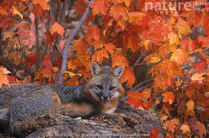 A Gray Fox (Urocyon cinereoargenteus). The Gray Fox is a tree climbing fox.  ,  ALERT,ANIMAL,AUTUMN,CAMERA,CINEREOARGENTEUS,COLOR,FOX,GRAY,HORIZONTAL,IMAGE,LAYING,LENGTH,LOOKING,MAMMAL,NATURE,ONE,OUTDOORS,RESTING,UROCYON,WILD,WILDLIFE  ,  Visuals Unlimited