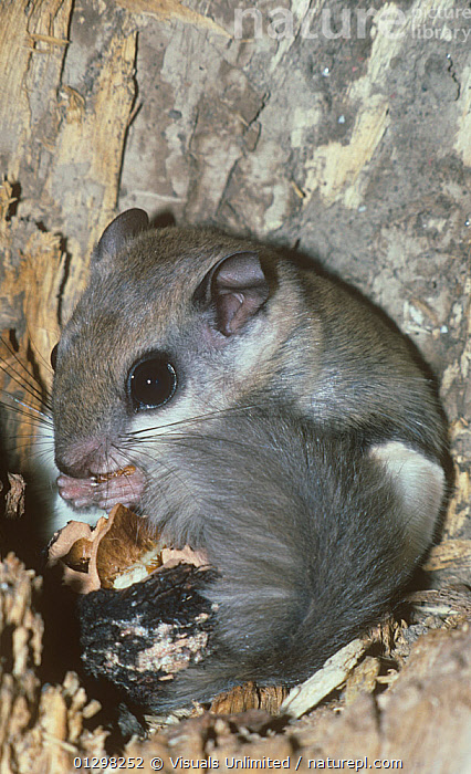 A Southern Flying Squirrel (Glaucomys volans) eating a black walnut.  ,  ALERT,ANIMAL,CLOSE,EATING,FLYING,GRAY,IMAGE,LENGTH,NUT,ONE,OUTDOORS,SITTING,SOUTHERN,SQUIRREL,VERTICAL,WALNUT,  ,  Visuals Unlimited