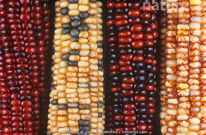 Variation in Indian corn due to the presence of genetic elements called transposons by Barabara McClintock.  ,  AGRICULTURE,BACKGROUNDS,BARBARA,BEAUTY,BOTANY,BRAD,CLOSE UP,COB,COBS,COLOR,CORN,DECORATION,DR.,FALL,FOUR,FRAME,GENETIC,GENETICS,HARVEST,HORIZONTAL,IMAGE,INDIAN,MAIZE,MAYS,MCCLINTOCK,MOGEN,NATURE,OBJECTS,OUTDOORS,SEASON,SEED,SEEDS,TRANSPOSON,TRANSPOSONS,VARIATION,ZEA  ,  Visuals Unlimited