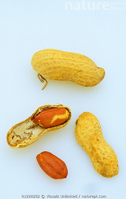 Close-up of shelled and unshelled Peanuts (Arachis hypogaea).  ,  AGRICULTURE,ARACHIS,BOTANY,BROKEN,CLOSE UP,COLOR,CRACKED,CROP,CROPS,DRINK,EBERHART,ECONOMIC,FOOD,FOODS,FRESHNESS,GROWTH,HARVEST,HYPOGAEA,IMAGE,NATURAL,NUT,NUTS,OUTDOORS,PEANUT,PEANUTS,PLANTS,RAW,SHELL,SHELLS,SHOT,STUDIO,TWO,UNSHELLED,VERTICAL,WALLY,WHITE,WHOLE,Concepts  ,  Visuals Unlimited