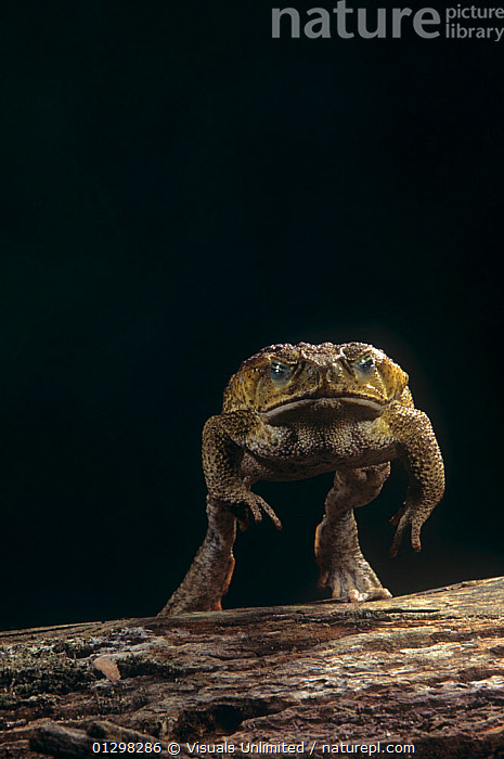 Giant Marine Toad jumping. (Bufo marinus) Central and South America  ,  AIR,ALERTNESS,AMPHIBIAN,ANIMAL,ANIMALS,BEHAVIOR,BUFO,BUFOTOXIN,BUMPY,CAMERA,CANE,COLOR,ESCAPE,FOCUS,FROWN,GIANT,HUNTING,IMAGE,JOE,JUMPING,LENGTH,LOOKING,MARINE,MARINUS,MCDONALD,MOVEMENT,NATURE,NIGHT,ONE,ORGANISM,OUTDOORS,POISONOUS,PREDATOR,SELECTIVE,SLIMY,SUBSTANCE,SURVIVAL,THEMES,TOAD,TOXIC,UGLINESS,VERTICAL,WILD,WILDLIFE  ,  Visuals Unlimited