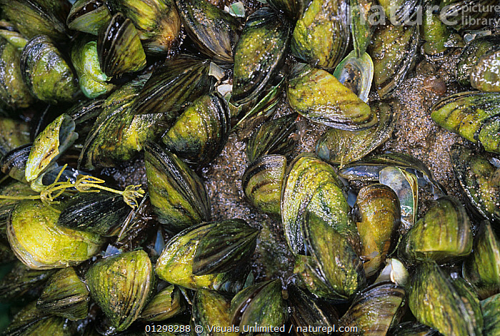 Zebra Mussels (Dreissena polymorpha) an introduced and invasive pest species to the Great Lakes of North America.  ,  &,80670045,ANIMALS,ANN,BIVALVE,BIVALVES,CLOSE UP,COLOR,DREISSENA,FRESHWATER,GREAT,HORIZONTAL,IMAGE,INTRODUCED,INVASIVE,LAKES,LARGE,MOLLUSCA,MOLLUSK,MOLLUSKS,MUSSEL,MUSSELS,NOXIOUS,OUTDOORS,PELECYPOD,PELECYPODS,POLYMORPHA,ROB,SIMPSON,SIPHON,SPECIES,ZEBRA,ZOOLOGY  ,  Visuals Unlimited