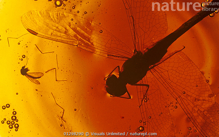 Insects in Amber.  ,  79756120,AMBER,BOTANY,CLOSE UP,COLOR,DALY,EARTH,ENTOMOLOGY,FOSSIL,FOSSILS,FRAME,GEOLOGY,HORIZONTAL,IMAGE,INDOORS,INSECT,JEFF,LIFE,MINERAL,MINERALS,NATURAL,OBJECT,PALEONTOLOGY,ROCKS,ROUGH,SCIENCE,SHOT,SINGLE,SPECIMEN,STILL,STUDIO,ZOOLOGY  ,  Visuals Unlimited