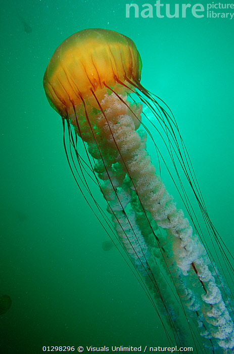 A Sea nettle (Chrysaora fuscescens), Monterey, California.  ,  ,animal,