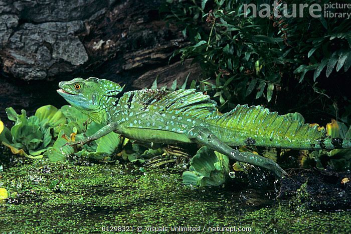 A Plumed Basilisk (Basiliscus plumifrons) running on water.  ,  54406337,ANIMAL,ANIMALS,BASILISCUS,BASILISK,BEHAVIOR,COLOR,ESCAPING,HORIZONTAL,IMAGE,LIZARD,MOTION,MOVEMENT,NATURE,ONE,OUTDOORS,PLUMED,PLUMIFRONS,REPTILE,RUNNING,SPEED,THEMES,VIS93811,WATER,WILD,WILDLIFE,,Lizard,  ,  Visuals Unlimited