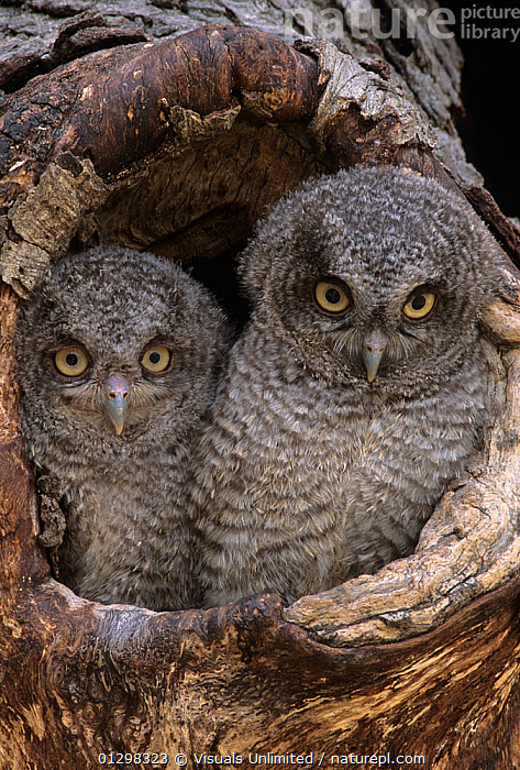 A baby Screech owl (Otus asio) in a tree cavity.  ,  54406339,ANIMALS,ASIO,BABIES,BABY,CAVITY,GARY,LIFE,LOOKING,MESZAROS,NEW,OTUS,OWL,SCREECH,TOGETHERNESS,TREE,TWO,VERTICAL,VIS93830  ,  Visuals Unlimited