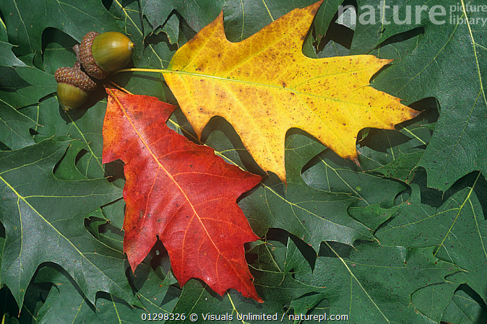 Various pigments of autumn Red Oak leaves (Quercus rubra), anthocyanins, carotenoids, xanthophylls, and chlorophyll, North America.  ,  AMERICA,ANTHOCYANIN,ANTHOCYANINS,AUTUMN,BEAUTY,BOTANY,CAROTENOID,CAROTENOIDS,CHLOROPHYLL,CLOSE UP,COLOR,COLORS,EBERHART,FALL,FRAME,HORIZONTAL,IMAGE,LEAF,LEAVES,LENGTH,NATURAL,NATURE,NORTH,OAK,OAKS,OUTDOORS,PATTERN,PATTERNS,PHOTOSYNTHESIS,PHOTOSYNTHETIC,PIGMENT,PIGMENTS,PLANT,QUERCUS,RED,RUBRA,SEASON,SMALL,WALLY,XANTHOPHYLL,XANTHOPHYLLA  ,  Visuals Unlimited