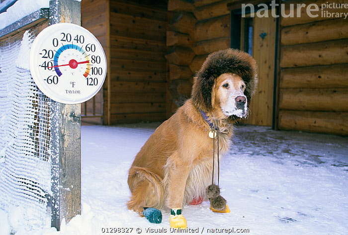 Dog sitting on snow, 45 degrees below zero Fahrenheit  ,  56947172,ANIMAL,BOOTS,COLD,COLOR,CUTE,DEGREES,DOG,FREEZING,FRIGID,HAT,HORIZONTAL,HOUSE,HUGH,IMAGE,MAMMAL,ONE,OUTDOORS,ROSE,SNOW,SNOWY,THERMOMETER,WINTER,ZERO , PETS  ,  Visuals Unlimited