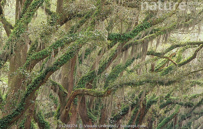 Live Oak (Quercus virginiana) draped with epiphytic Spanish Moss (Tillandsia usneoides) and Ferns, Charleston, South Carolina, USA.  ,  ,Adam, awe, BACKGROUNDS, , botany, branch, BRANCHES, carolina, charleston, close-up, Color, commensalism, commensalistic, destination, environment, EPIPHYTE, EPIPHYTES, fern, FERNS, foliage, frame, GROWTH, HORIZONTAL, idyllic, Image, jones, landscape, LARGE, lush, MOSS, natural, nature, outdoors, PEACEFUL, PLANTS, reflection, RELAXATION, sc, Scenic, South, Southern, Spanish, Tillandsia, tranquil, Travel, Tree, USA, usneoides  ,  Visuals Unlimited