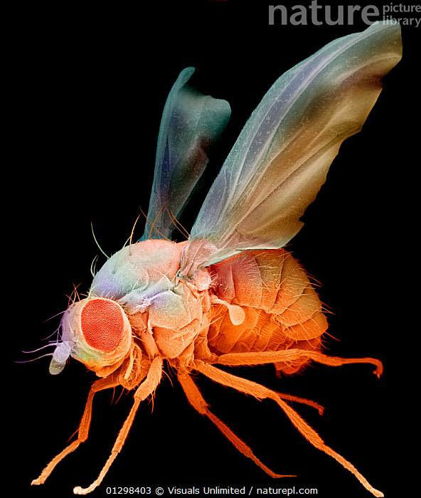 Fruit Fly (Drosophila melanogaster) an important laboratory organism in genetics. SEM X75  ,  54216786,COLOR,DAVID,DR.,DROSOPHILA,ELECTRON,EM,ENTOMOLOGY,FLY,FRUIT,FRUITFLY,GENETICS,IMAGE,INSECT,M.,MELANOGASTER,MICROGRAPH,MICROSCOPIC,MICROSCOPY,MODEL,PEST,PHILLIPS,RESEARCH,SCANNING,SCIENCE,SCIENTIFIC,SEM,VERTICAL,VIS171467,ZOOLOGY,Plants  ,  Visuals Unlimited