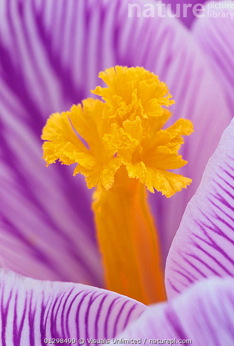 Close-up of a Crocus flower stamen.  ,  ,54405996, activity, Adam, , bloom, botany, bright, close-up, Color, Crocus, delicate, floral, flower, fragility, FRESHNESS, garden, gardening, GROWTH, Image, innocence, jones, LEISURE, natural, nature, outdoors, petal, PLANTS, Pure, Scenic, scent, simplicity, SMALL, Softness, Stamen, VERTICAL, vibrant, vis213690, Wildflower  ,  Visuals Unlimited