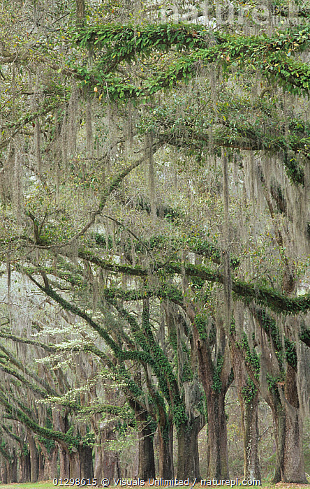 Live Oaks (Quercus virginiana) draped with Spanish moss (Tillandsia usneoides) and epiphytic Ferns, South Carolina, USA.  ,  ,Adam, awe, , botany, carolina, close-up, Color, commensalism, commensalistic, destination, dream, environment, EPIPHYTE, EPIPHYTES, fern, FERNS, foliage, GROWTH, idyllic, Image, jones, landscape, LARGE, live, lush, MOSS, natural, nature, Nobody, oak, oaks, outdoors, PEACEFUL, PLANTS, Quercus, reflection, RELAXATION, ROW, sc, Scenic, South, Southern, Spanish, Tillandsia, tranquil, Travel, USA, usneoides, VERTICAL, virginiana  ,  Visuals Unlimited
