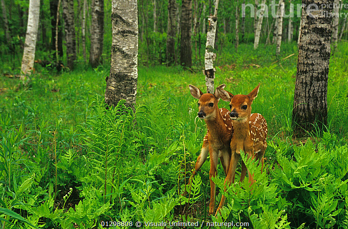 White-tailed Deer fawns among ferns in an Aspen forest (Odocoileus virginianus), Minnesota, USA.  ,  ANIMAL,ANIMALS,ASPEN,BABY,BEGINNINGS,BEHAVIOR,BIOLOGY,BOND,CLOSE UP,COLOR,CUTE,DECIDUOUS,DEER,FAWN,FAWNS,FERN,FERNS,FOREST,FORESTS,FRAME,GROWTH,HORIZONTAL,IMAGE,INNOCENCE,JACK,LANDSCAPE,LIFE,MAMMAL,MAMMALS,MILCHANOWSKI,MINNESOTA,MN,NATURAL,NEW,NOBODY,ODOCOILEUS,OUTDOORS,POTENTIAL,REPRODUCTION,SCIENCE,SMALL,SPOTTED,SURVIVAL,THEMES,TOGETHERNESS,TWO,USA,VIRGINIANUS,VULNERABLE,WHITE TAILED,WILD,WILDLIFE,YOUNG,ZOOLOGY,Plants,Concepts,North America  ,  Visuals Unlimited