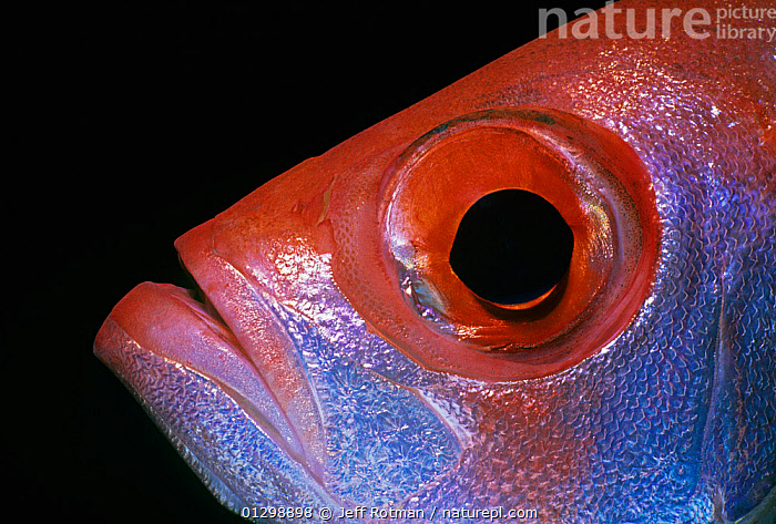 Close up of Goggle eye / Bigeye fish (Priacanthus hamrur) Red Sea, Egypt  ,  animal eye, animal mouth, BIGEYES, black background, CATALOGUE2, close up, CLOSE-UPS, COLOURFUL, downturned mouth, Egypt, EXPRESSIONS, EYES, facial expression, FISH, MARINE, MOUTHS, Nobody, NORTH-AFRICA, one animal, orange colour, OSTEICHTHYES, PATTERNS, PROFILE, red sea, RED-SEA, scaly, side view, TROPICAL, uncertainty, UNDERWATER, unhappy, VERTEBRATES,Africa  ,  Jeff Rotman