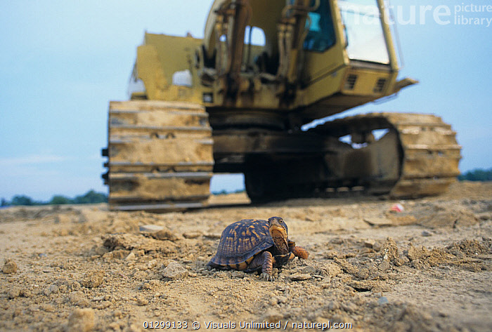 Habitat destruction of the Eastern Box Turtle, (Terrapene carolina)  ,  56947249,animal,box,BROWN,Bulldozer,carolina,Color,danger,DESTRUCTION,dirt,Eastern,environment,HABITAT,HORIZONTAL,Image,Jim,Merli,one,outdoors,Reptile,Terrapene,tractor,turtle  ,  Visuals Unlimited