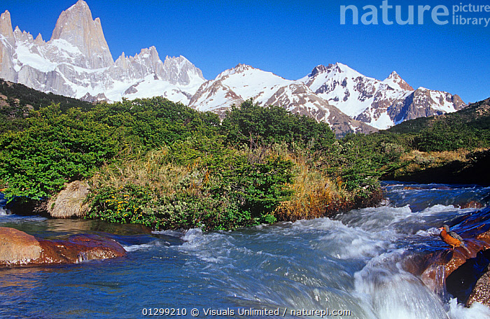 Female Torrent Duck (Merganetta armata) next to a rushing mountain stream, Mt. Fitzroy, Patagonia, Argentina, South America.  ,  79756289,America,Andes,animal,Argentina,armata,bird,BIRDS,Color,duck,DUCKS,fitzroy,HORIZONTAL,Image,joe,landscape,McDonald,Merganetta,mt.,one,ornithology,outdoors,patagonia,South,torrent,WATERFOWL,zoology,SOUTH-AMERICA,Wildfowl  ,  Visuals Unlimited