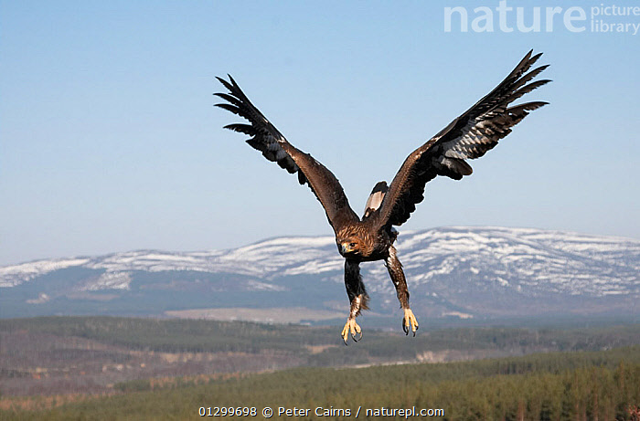 Golden eagle (Aquila chrysaetos) sub-adult male (two years) in flight over Cairngorms National Park, Scotland, UK, captive  ,  BIRDS,BIRDS OF PREY,cairngorms,CLAWS,EAGLES,EUROPE,FLYING,LANDSCAPES,MALES,MOUNTAINS,NP,POWERFUL,RESERVE,SCOTLAND,SNOW,UK,VERTEBRATES,WINGS,National Park,Concepts,United Kingdom  ,  Peter Cairns