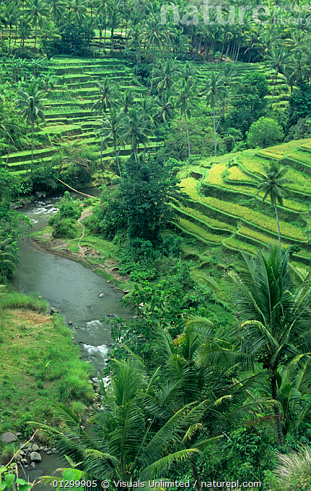 Nature Picture Library - Terraced Rice paddies (Oryza sativa