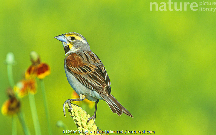 Male Dickcissel (Spiza americana) on Mullein (Verbascum thapsus), North America.  ,  AMERICANA,ANIMAL,BIRD,BIRDS,CLOSE UP,COLOR,DICKCISSEL,DICKCISSELS,HORIZONTAL,IMAGE,NOBODY,ONE,ORNITHOLOGY,OUTDOORS,PHOTOGRAPHY,SPIZA,ZOOLOGY  ,  Visuals Unlimited