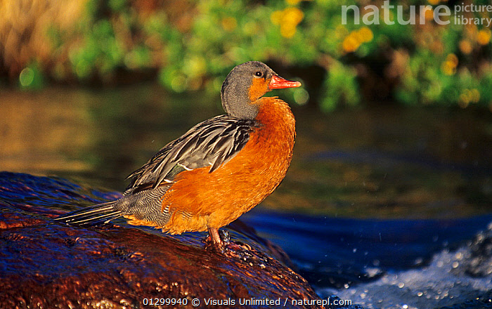 Female Torrent Duck standing in a stream (Merganetta armata), Argentina, South America.  ,  79756292,AMERICA,ANIMAL,ARGENTINA,ARMATA,BIRD,BIRDS,CLOSE UP,COLOR,DUCK,DUCKS,HORIZONTAL,IMAGE,JOE,MCDONALD,MERGANETTA,NOBODY,ONE,ORNITHOLOGY,OUTDOORS,PHOTOGRAPHY,SOUTH,TORRENT,WATERFOWL,ZOOLOGY  ,  Visuals Unlimited